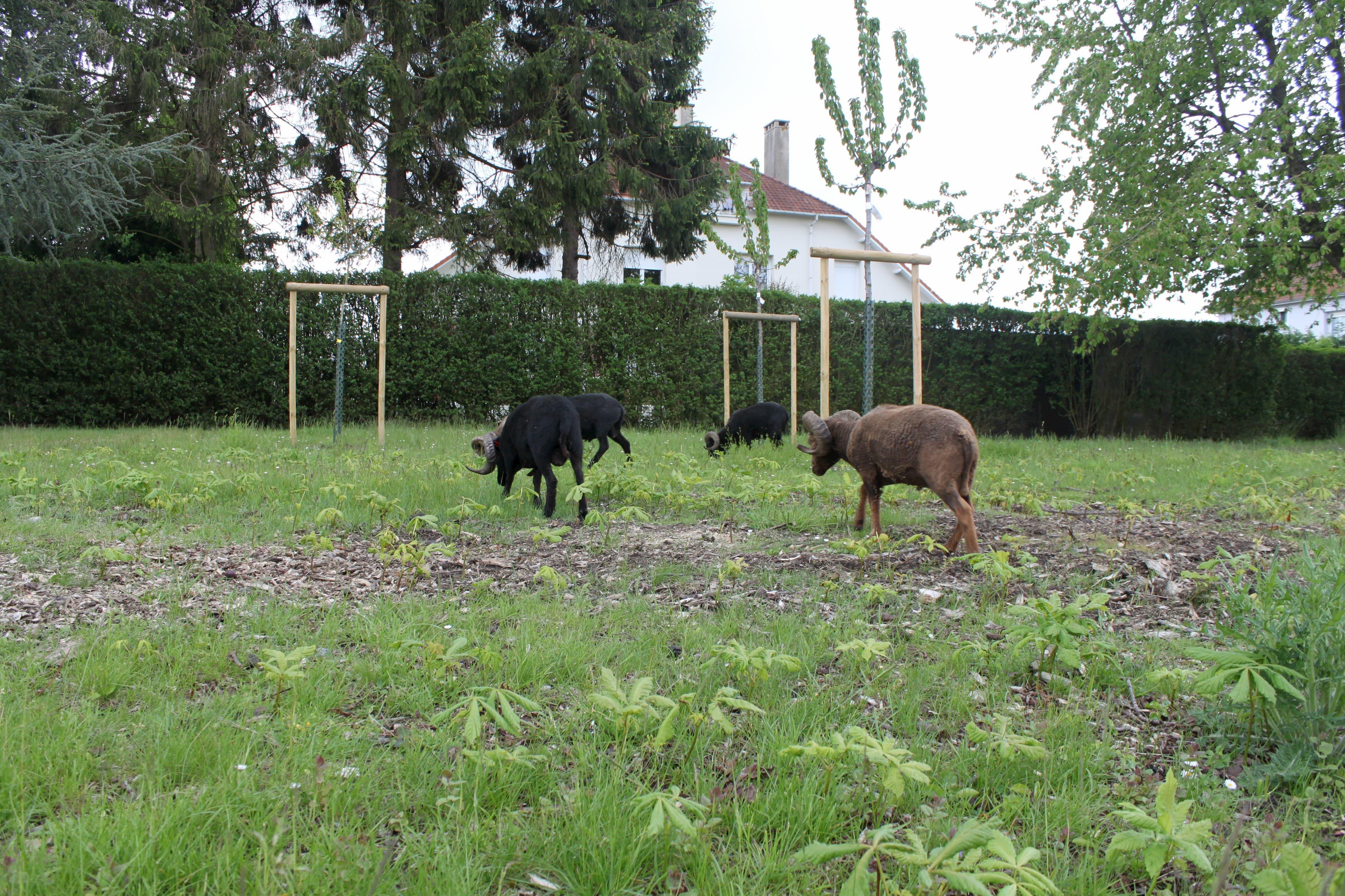 Valenciennes - moutons