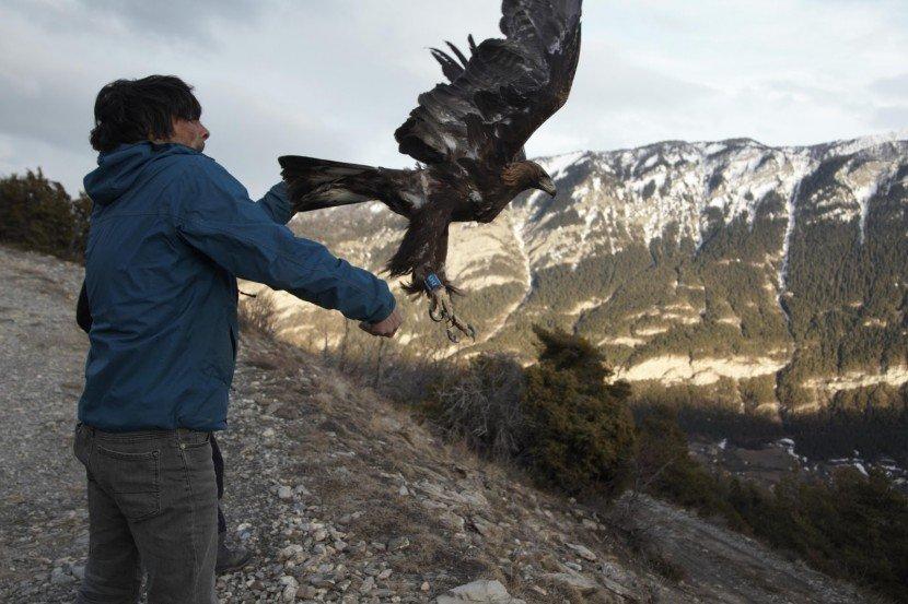 Baguage par balise GPS d'aigles royaux, hiver 2018