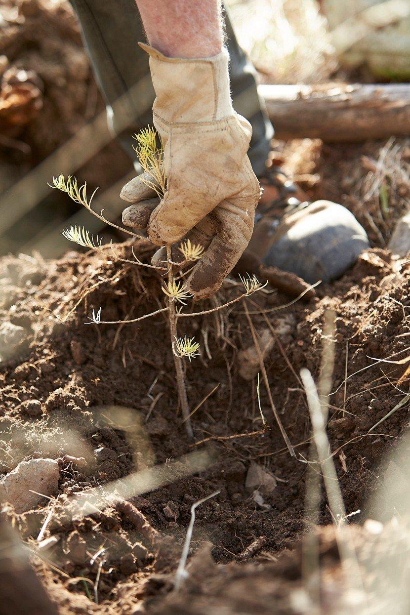 Plantation melezes